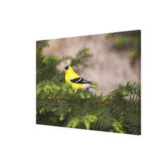 American Goldfinch male in a tree Canvas Print