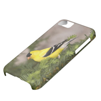 American Goldfinch male in a tree iPhone 5C Case
