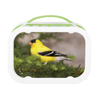 American Goldfinch male in a tree Lunch Box