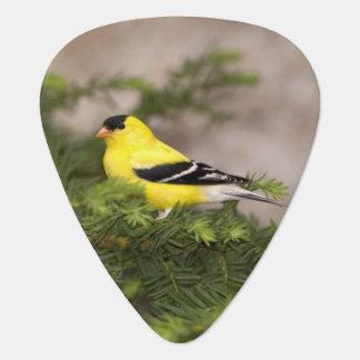 American Goldfinch male in a tree Plectrum