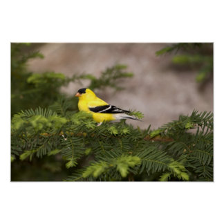 American Goldfinch male in a tree Poster