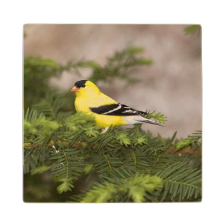 American Goldfinch male in a tree Wood Coaster