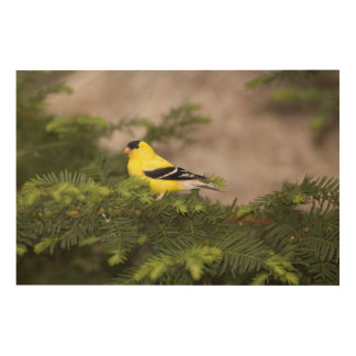 American Goldfinch male in a tree Wood Prints