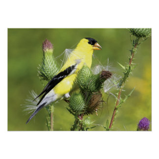 American Goldfinch Photograph Poster