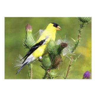 American Goldfinch Photograph Print