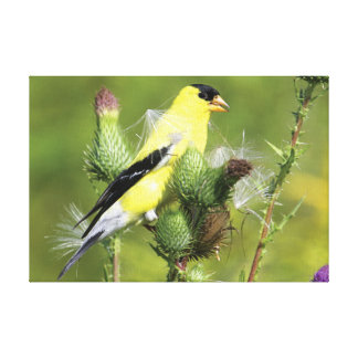 American Goldfinch Photograph Wrapped Canvas Stretched Canvas Print