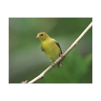 American Goldfinch, Wrapped Canvas Print.