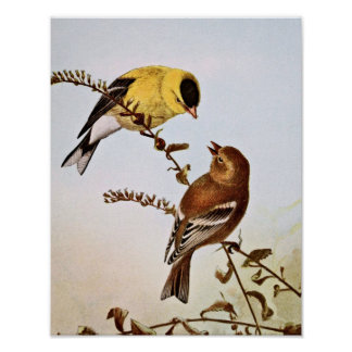 American Goldfinchs Bird Illustration Poster
