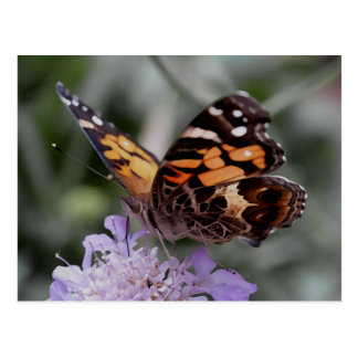 American Lady Butterfly Postcard