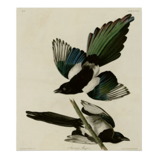 American Magpie Print