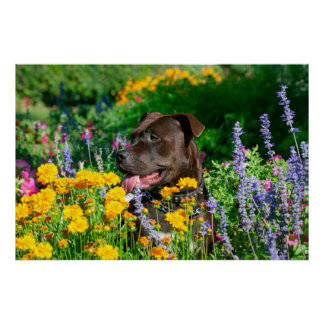 American Pit Bull in field of flowers Poster