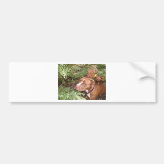 American Pit Bull Terrier- A Family Dog Bumper Sticker