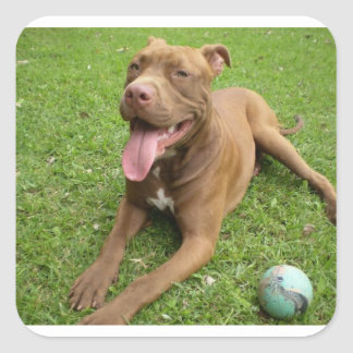 american pit bull terrier with toy square sticker