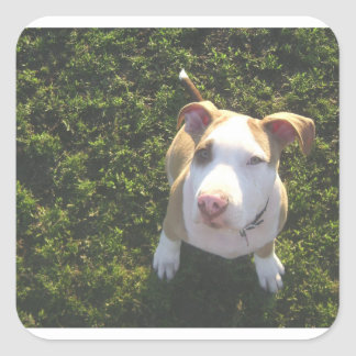 american PitBull terrier Looking Up Square Sticker