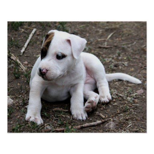 American PItbull Terrier Puppy Dog Poster