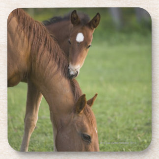 American Quarter horse mare and colt in field at Coaster