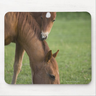 American Quarter horse mare and colt in field at Mouse Pad