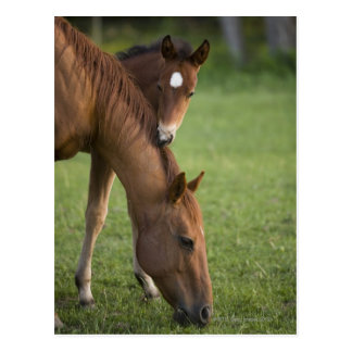 American Quarter horse mare and colt in field at Postcard