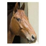 American Quarter Horse Postcard