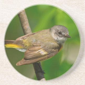 American Redstart (Setophaga Ruticilla) Female Coaster