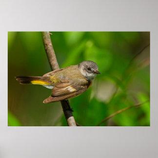 American Redstart (Setophaga Ruticilla) Female Poster
