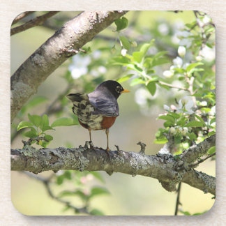American Robin and spring blossoms Coaster