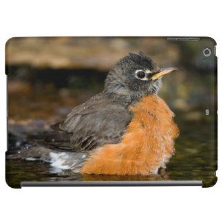 American Robin bathing 2