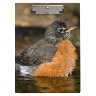 American Robin bathing 2 Clipboards