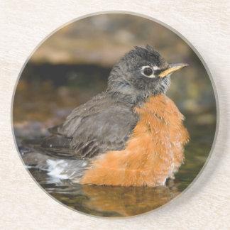 American Robin bathing 2 Coaster