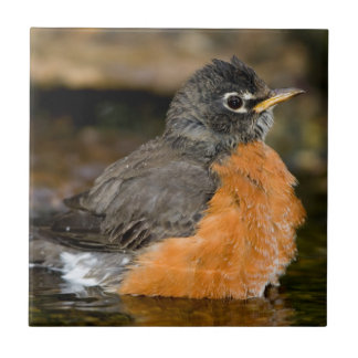 American Robin bathing 2 Small Square Tile