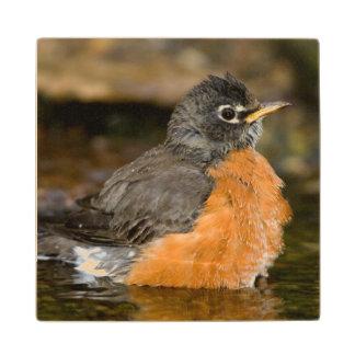 American Robin bathing 2 Wood Coaster