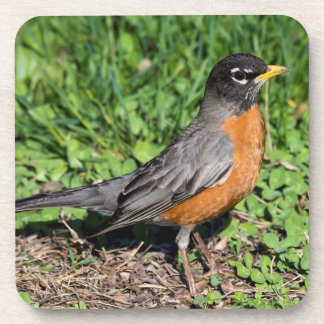 American Robin in the Grass Coaster