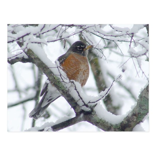 American Robin in the Snow Postcard