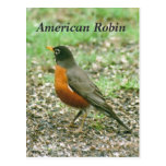American Robin Postcards