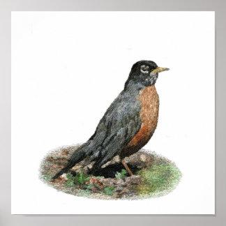 American Robin Prints & Posters