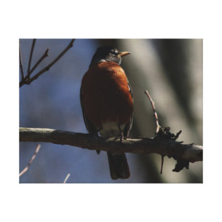 American Robin, Wrapped Canvas Print.