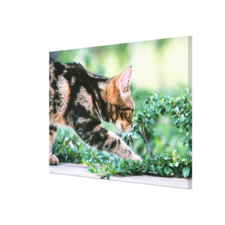 American Shorthair 6 Canvas Print