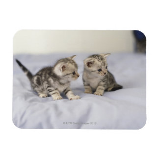 American Shorthair 7 Magnets