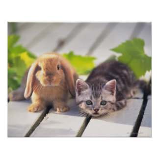 American Shorthair; is the most popular and most Poster