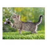American shorthair kitten postcard