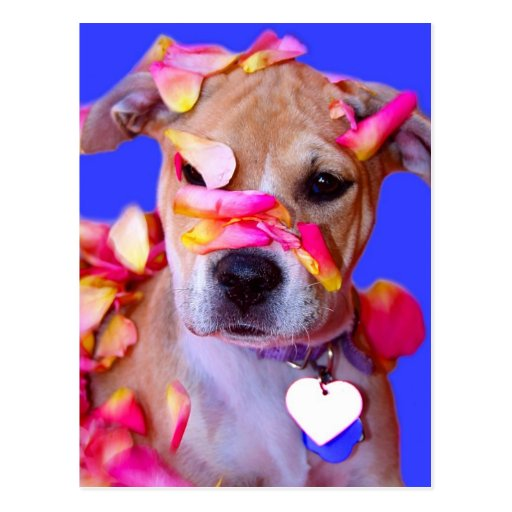 American Staffordshire Terrier Boxer Mix Puppy Dog Post Cards
