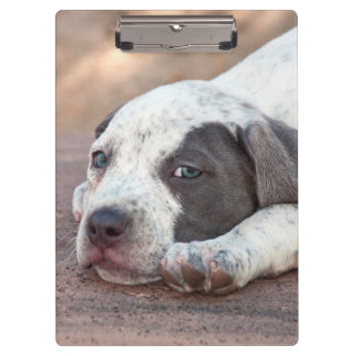 American Staffordshire Terrier puppy lying down Clipboards