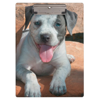 American Staffordshire Terrier puppy Portrait Clipboards