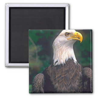 American Symbol of Freedom The Bald Eagle in the Magnet