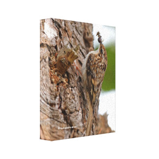 American Treecreeper with Bug Canvas Print
