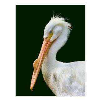 American White Pelican Bird Postcard