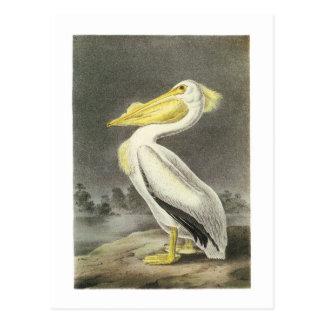American White Pelican by Audubon Postcard