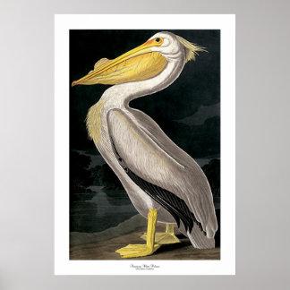 American White Pelican by John James Audubon Poster