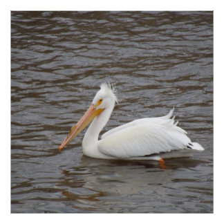 American White Pelican In Breeding Condition Poster