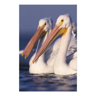 American White Pelican, Pelecanus Art Photo